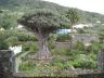 Picture: Millennial Dragon Tree (Drago Milenario)