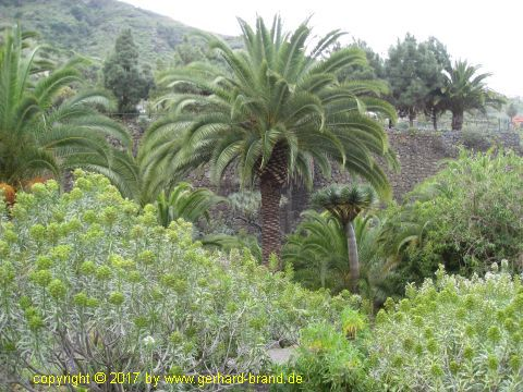 Picture 5: Palms in the Dragon Park (Parque del Drago)