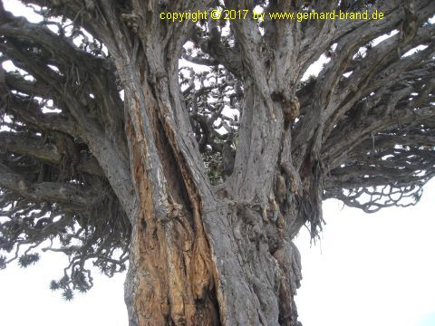 Picture 7: Millennial Dragon Tree (Drago Milenario) at Icod