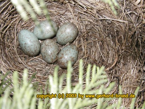 Picture 8: Five eggs in the nest of a blackbird