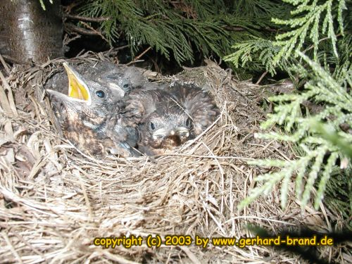 Picture 17: The blackbird young ones after 20 Days