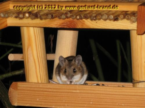 Picture 16: The mouse during dinner